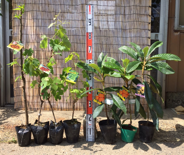 ブドウ、ビワ、スモークツリーなどの本日の発送苗