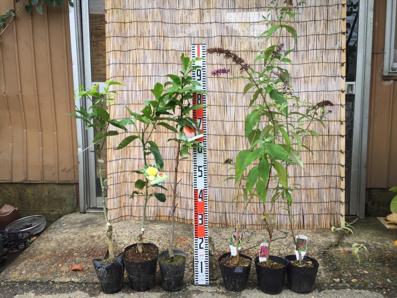 柑橘類、桃、ブットレアなどの本日の発送苗