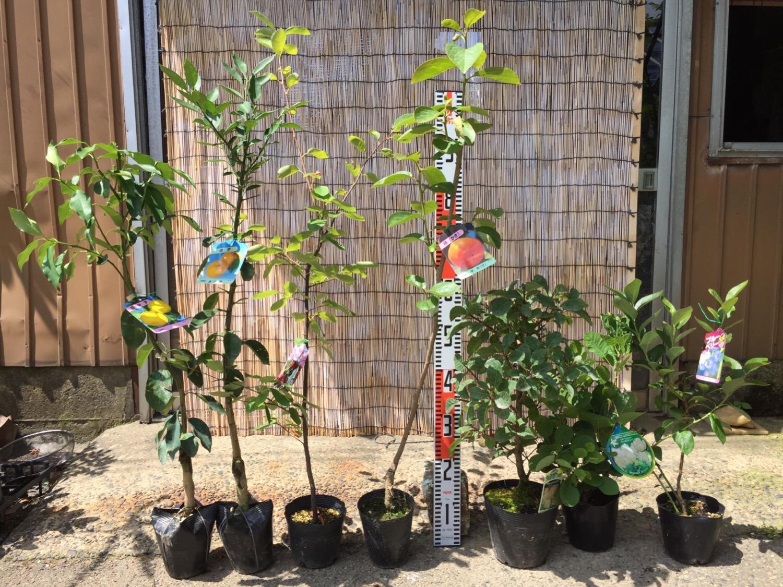 柚子、ジューンベリー、柿、スモークツリー、ブルーベリーなどの本日の発送苗