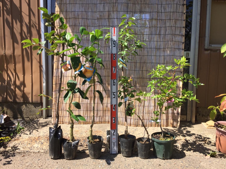 柿、柑橘類、アンズ、カシス、ナツメなどの本日の発送苗