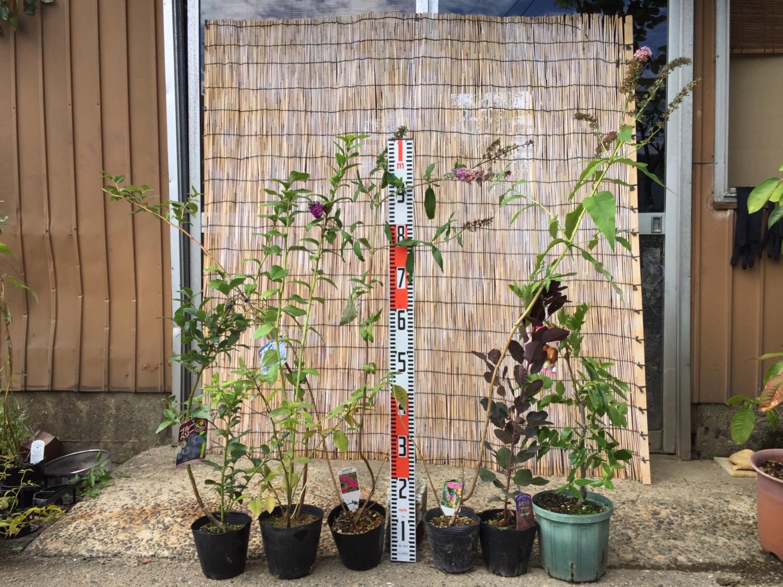 ブルーベリー、ブットレア、スモークツリー、ナツメなどの本日の発送苗