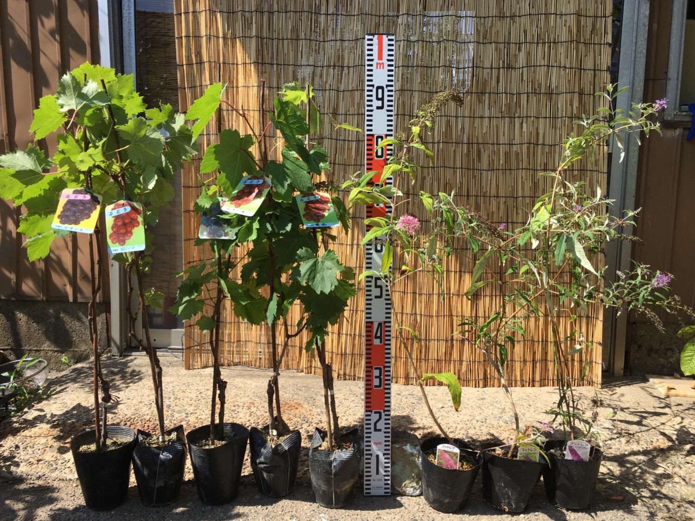 葡萄、ブットレア、柑橘類、林檎などの本日の発送苗