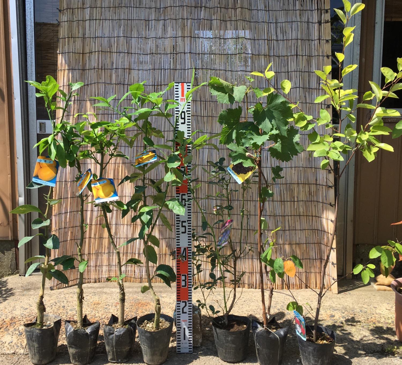 柑橘類、ブルーベリー、ぶどう、ジューンベリーなどの本日の発送苗