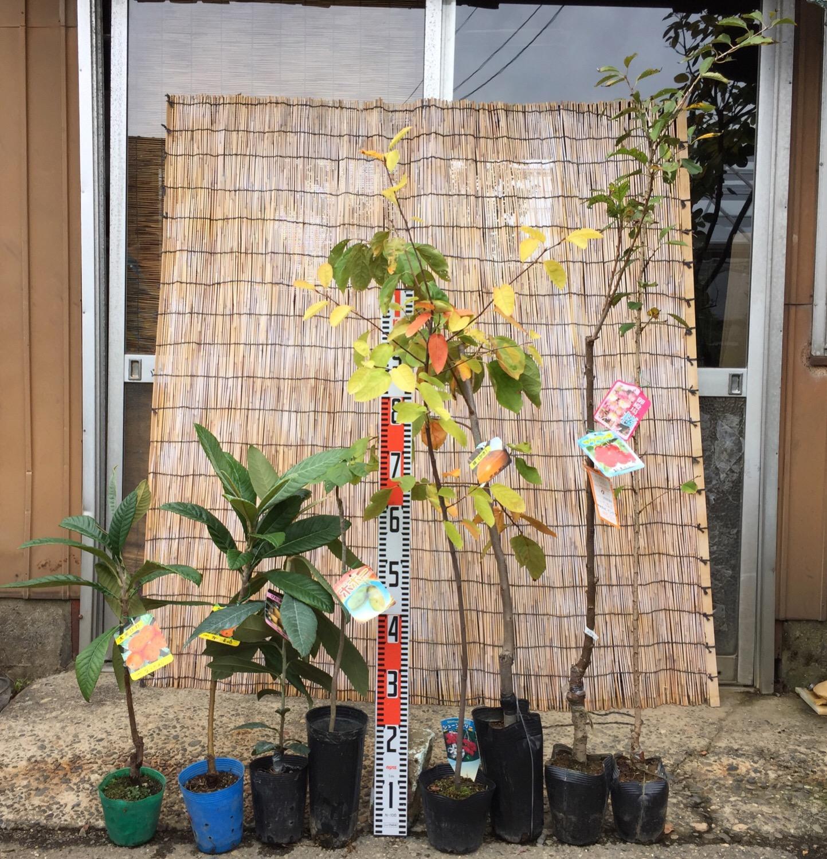 ビワ、ポポー、ジューンベリー、柿、さくらんぼ、桜などの本日の発送苗
