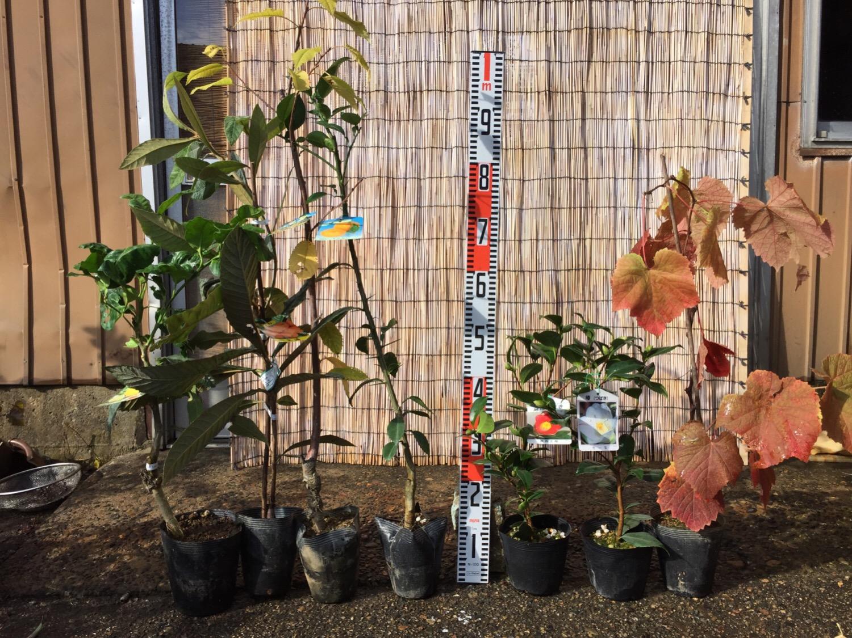 柑橘類、ビワ、サクランボ、椿、葡萄などの本日の発送苗