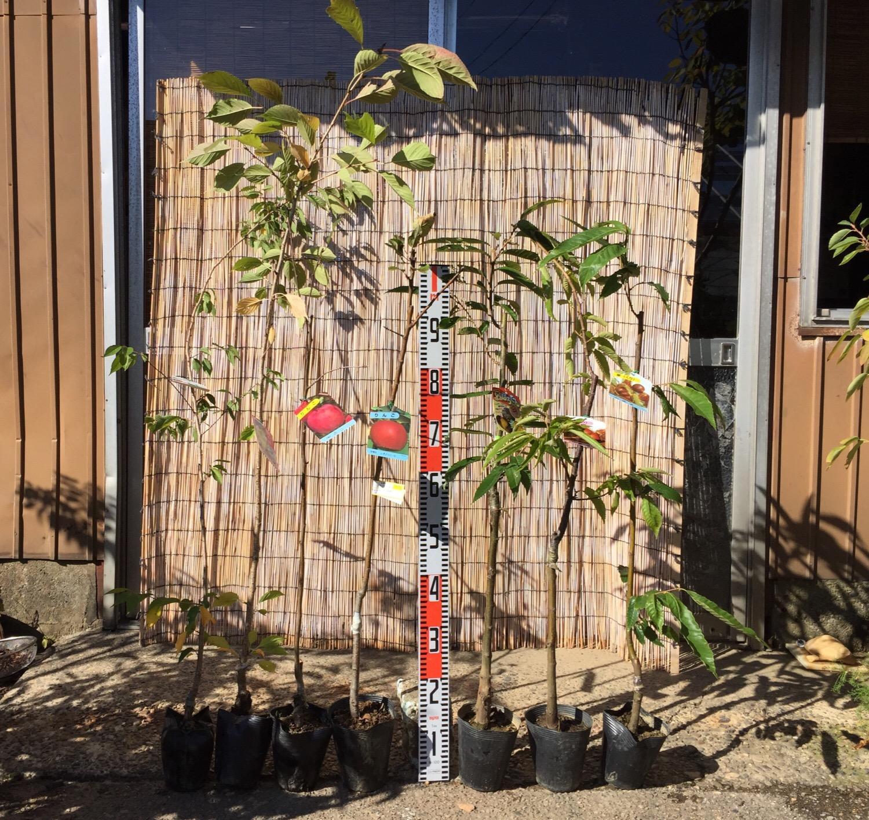 桜、林檎、栗、ジューンベリー、スモークツリー、ミモザ、ブルーベリーなどの本日の発送苗