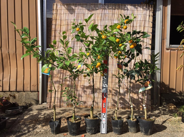 レモン、オレンジ、ミカンなどの柑橘類の本日の発送苗