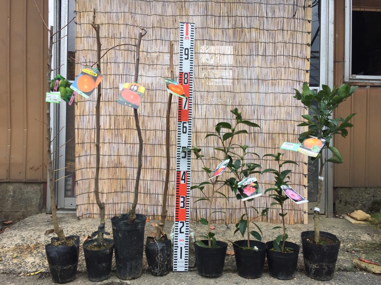 ウメ、柿、つばき、柑橘類などの本日の発送苗