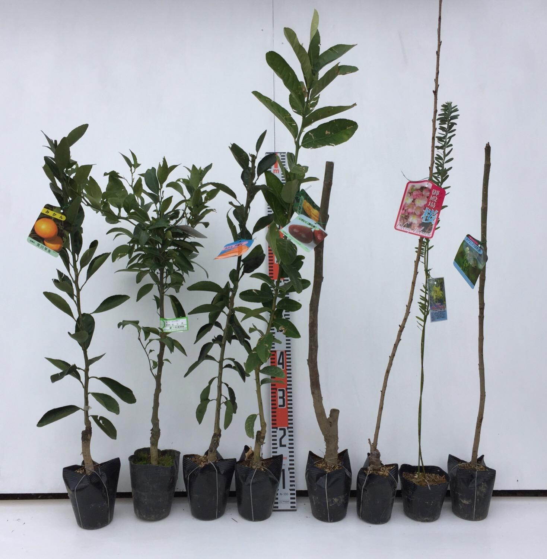 柑橘類、無花果、桜、ミモザ、タラの木などの本日の発送苗