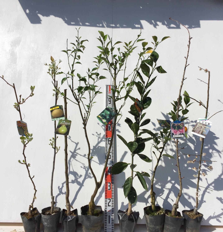 キウイ、梨、柑橘類、桜、梅などの本日の発送苗