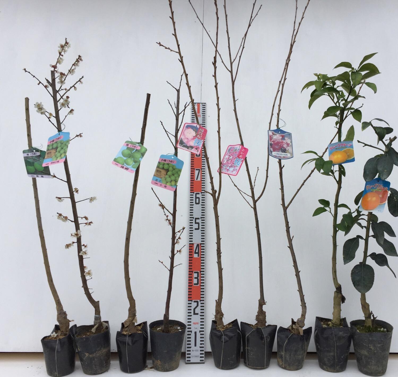 梅、桜、柑橘類などの本日の発送苗