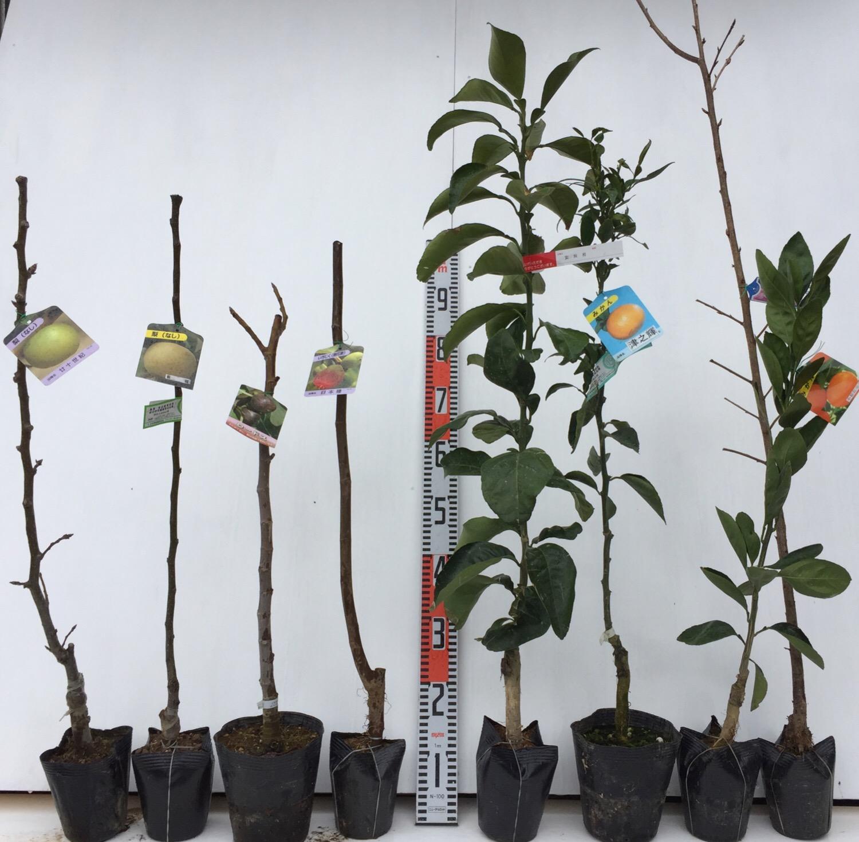 梨、イチジク、柑橘類、桜などの本日の発送苗