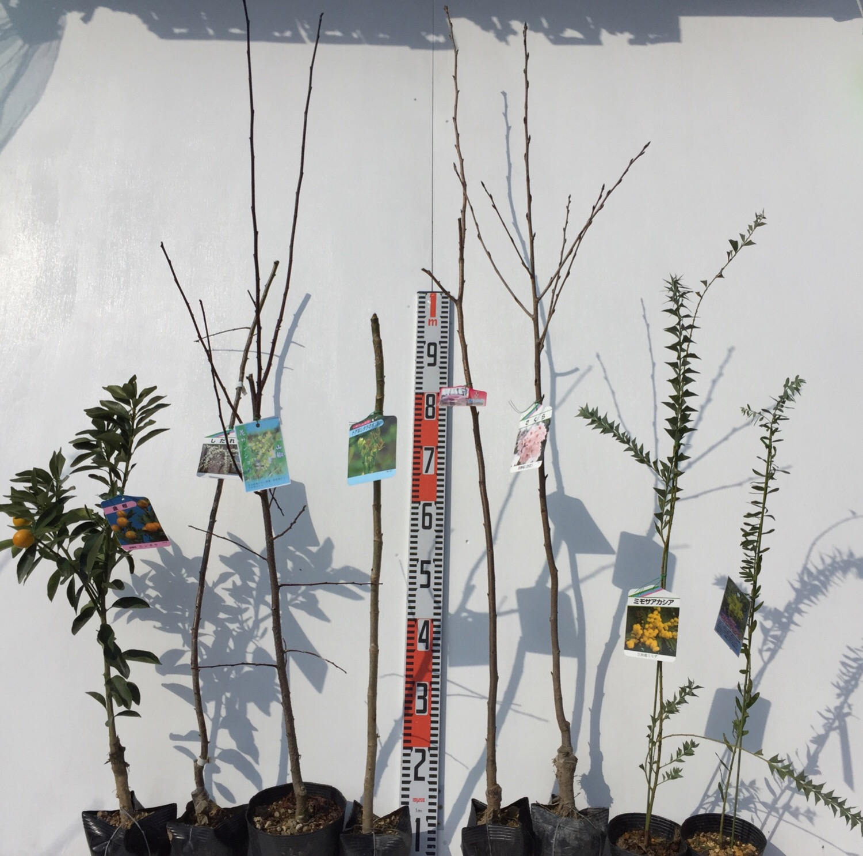 柑橘類、梅、山椒、タラの木、桜、ミモザなどの本日の発送苗