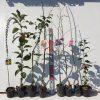 ミモザ、柑橘類、キウイ、桜、椿などの本日の発送苗