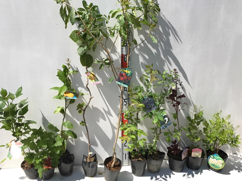 ラズベリー、スグリ、柑橘類、キウイ、山桃、ブルーベリーなどの本日の発送苗