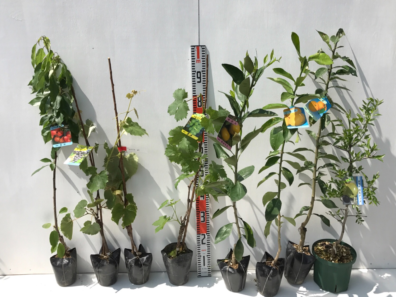 サクランボ、ぶどう、柑橘類、ナツメなどの本日の発送苗