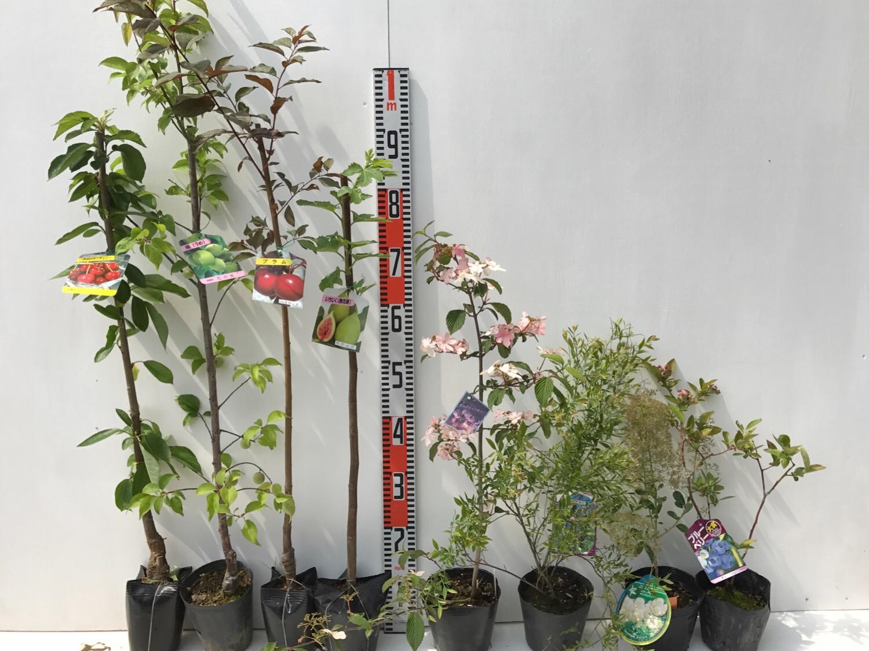サクランボ、プラム、イチジク、ビバーナム、ビルベリー、スモークツリー、ブルーベリーなどの本日の発送苗