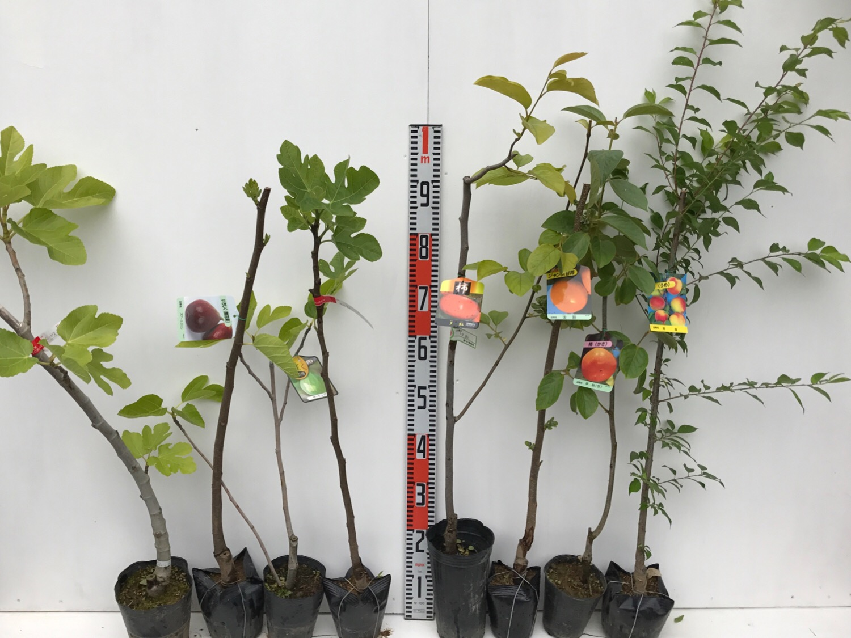 イチジク、柿、梅などの本日の発送苗