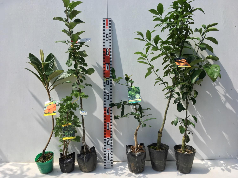 ビワ、グーズベリー、バレリーナツリー、柑橘類などの本日の発送苗