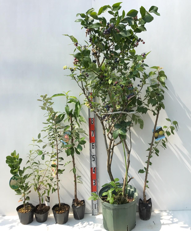 スモークツリー、フェイジョア、桃、ブルーベリー、アンズなどの本日の発送苗