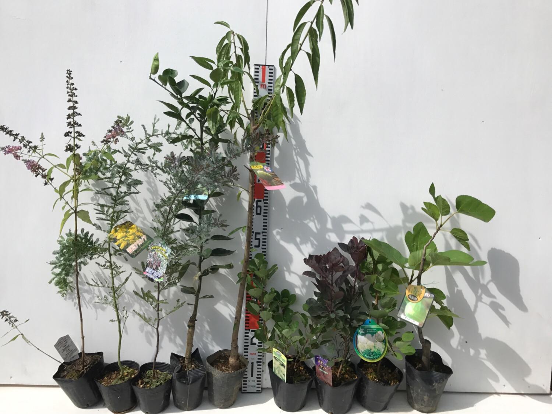 ブットレア、ミモザ、柑橘類、アーモンド、スモークツリーなどの本日の発送苗