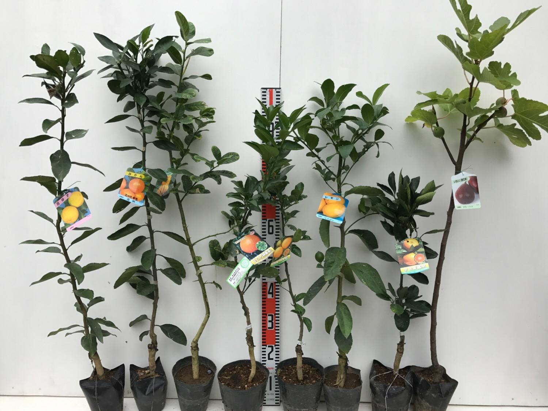 柑橘類、イチジクなどの本日の発送苗