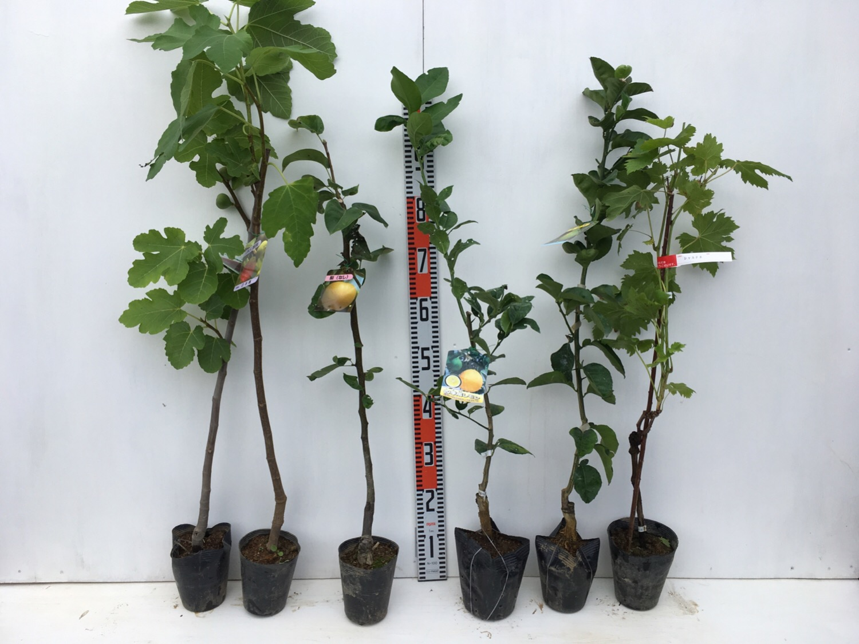 いちじく、梨、柑橘類、ブドウなどの本日の発送苗