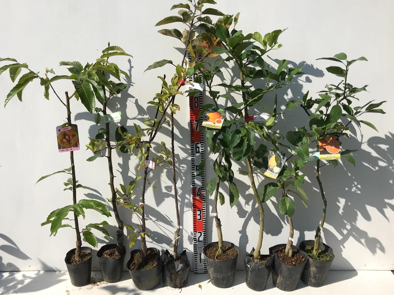 栗、梨、リンゴ、柑橘類などの本日の発送苗