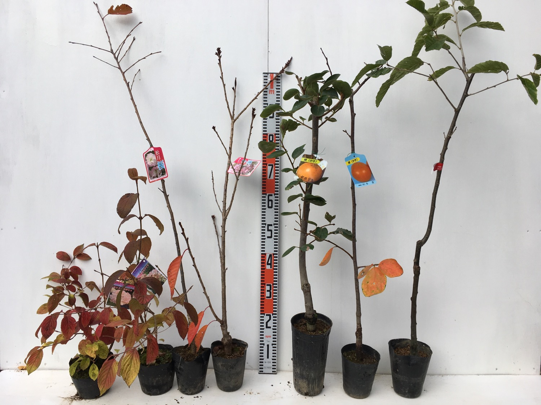 ビバーナム、桜、柿、栗などの本日の発送苗