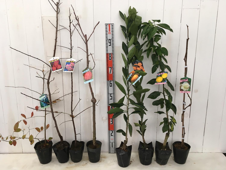 ブルーベリー、梅、リンゴ、柑橘類、キウイなどの本日の発送苗