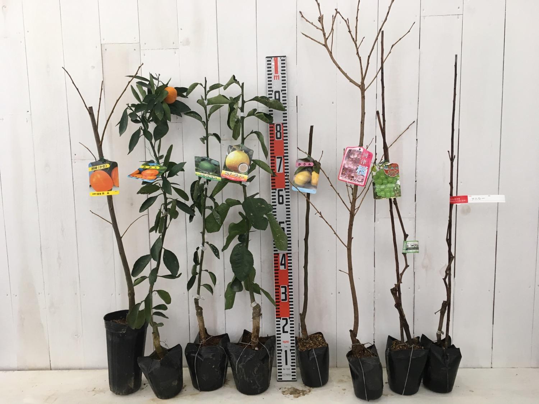 柿、柑橘類、かりん、桜、葡萄などの本日の発送苗