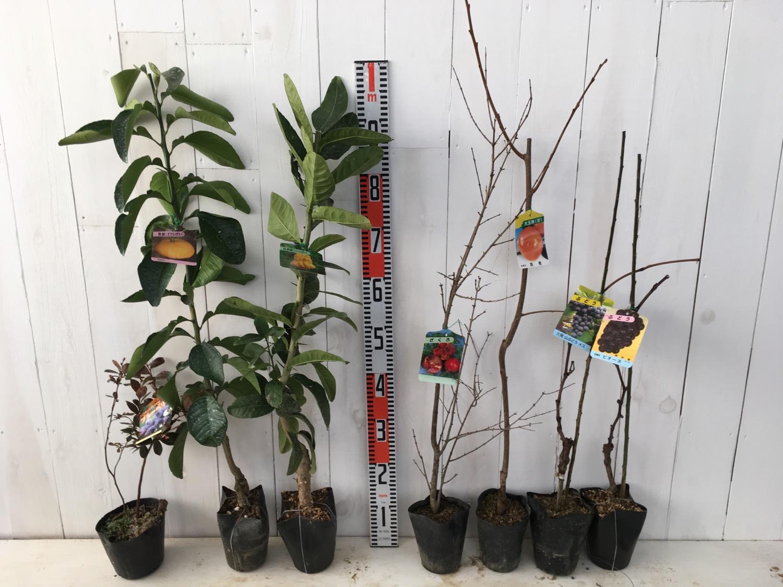 ブルーベリー、柑橘類、ざくろ、柿、葡萄などの本日の発送苗