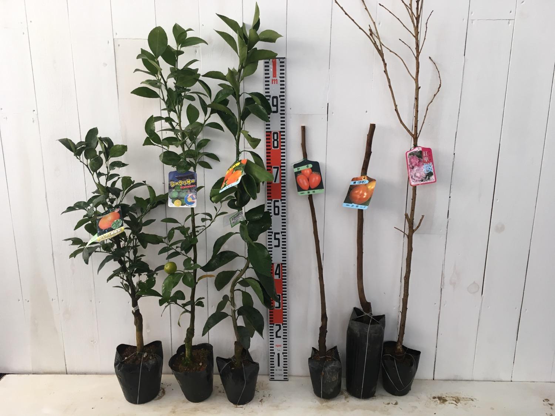 柑橘類、柿、桜などの本日の発送苗