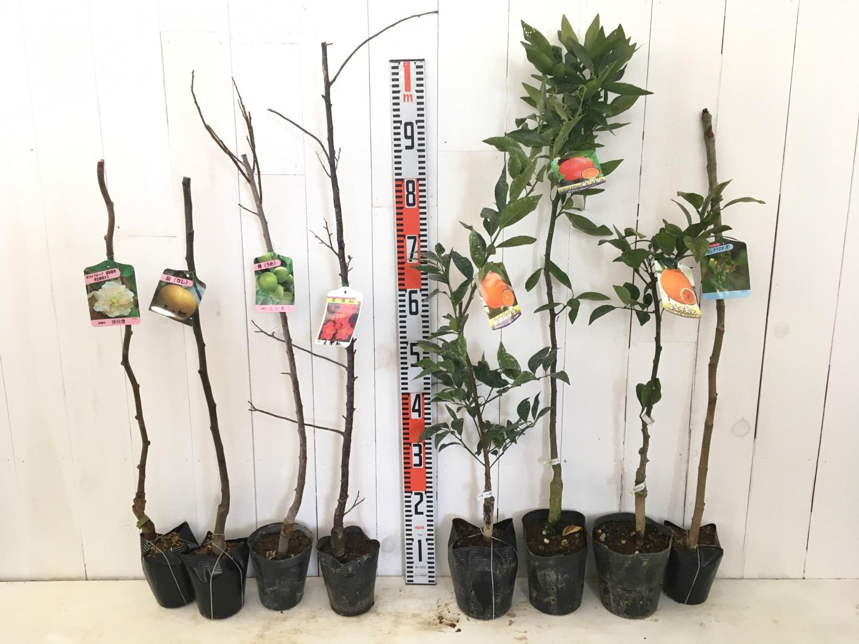 キウイ、梨、梅、柑橘類、タラの木などの本日の発送苗
