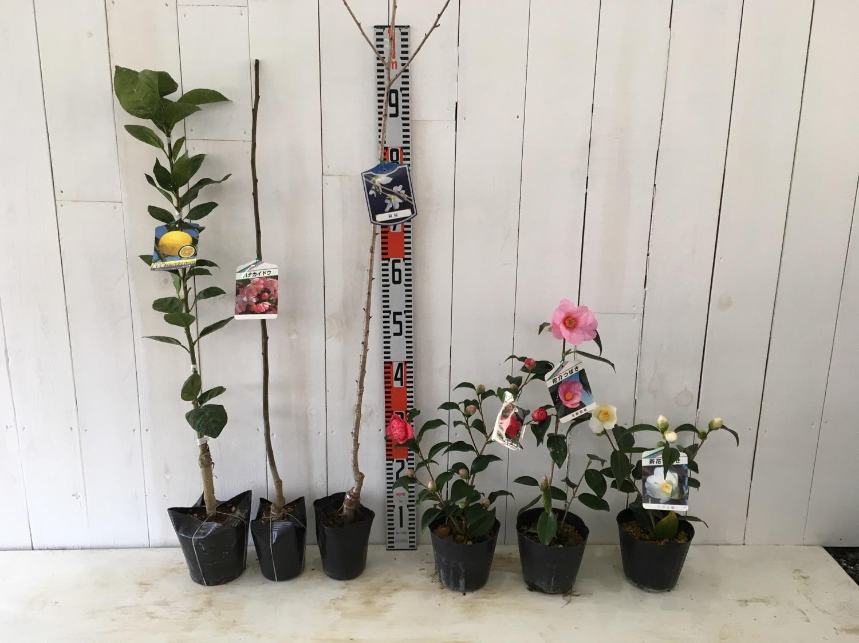 柑橘類、花かいどう、サクラ、つばきなどの本日の発送苗