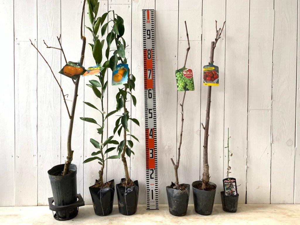 柿、柑橘類、ぶどう、チェリー、ベリーなどの本日の発送苗