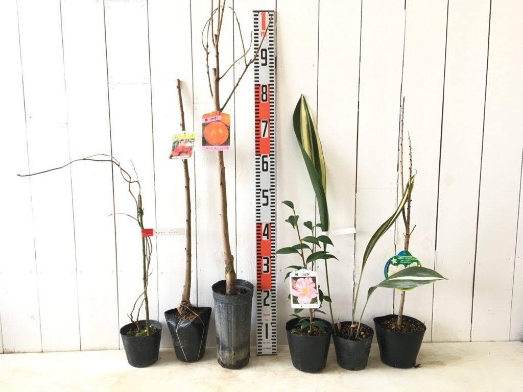 サルナシ、サクランボ、柿、椿、ハラン、スモークツリーなどの本日の発送苗