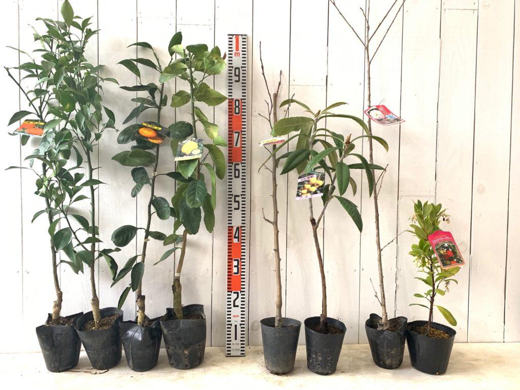 柑橘類、りんご、びわ、サクラ、苺の木など本日の発送苗