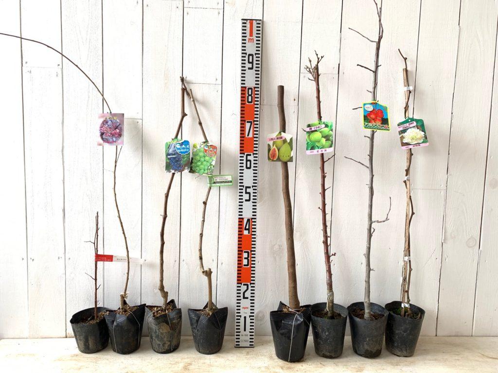 いちご、サクラ、ブドウ、イチジク、うめ、りんご、キウイなどの本日の発送苗