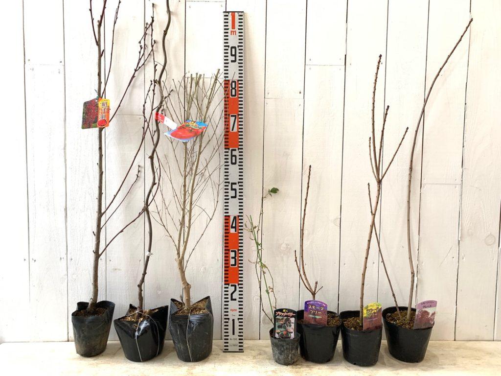 花桃、キウイ、ざくろ、ブラックベリー、スモークツリーなどの本日の発送苗