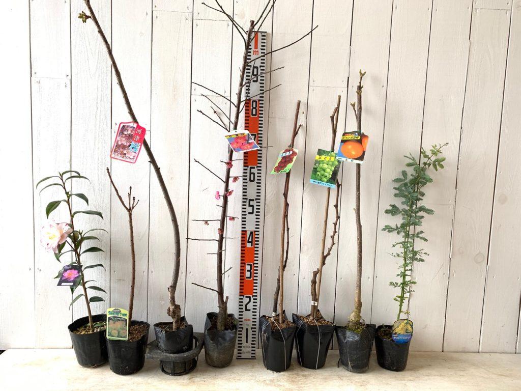 つばき、スモークツリー、桜、うめ、ブドウ、柿、ミモザなどの本日の発送苗