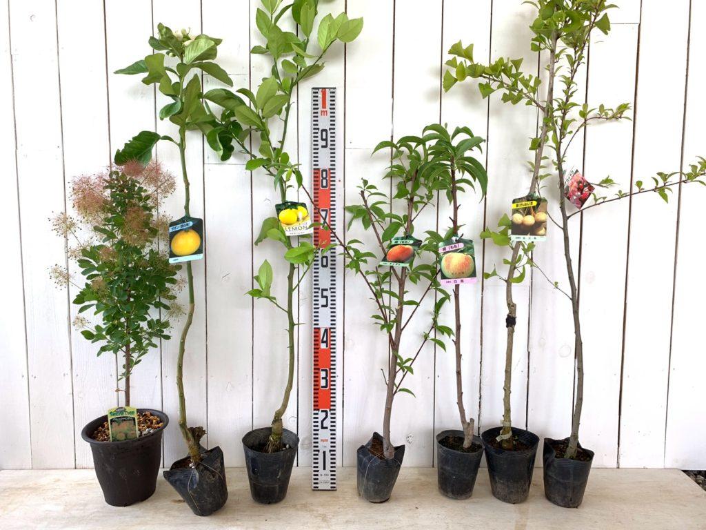 スモークツリー、ザボン、れもん、モモ、ギンナン、ハナカイドウなどの本日の発送苗