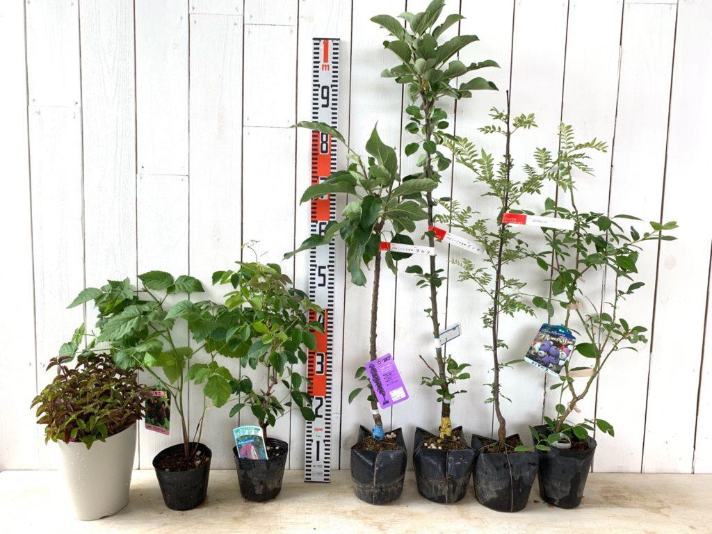 はっか、ボイセンベリー、アケビ、バレリーナツリー、ぶどう山椒、ブルーベリーなどの本日の発送苗