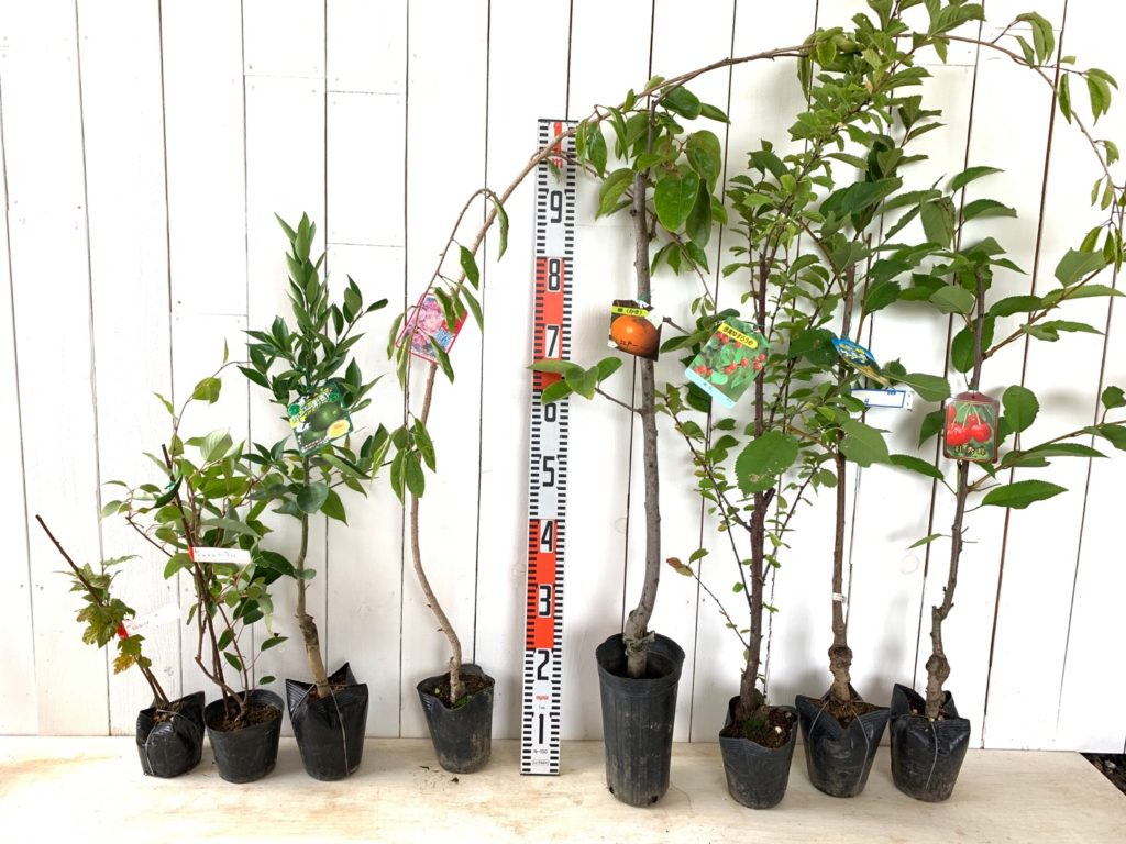 もみじ葉いちご、サルナシガーネット、みかん、サクラ、甘がき、ゆすら梅、サクランボなどの本日の発送苗