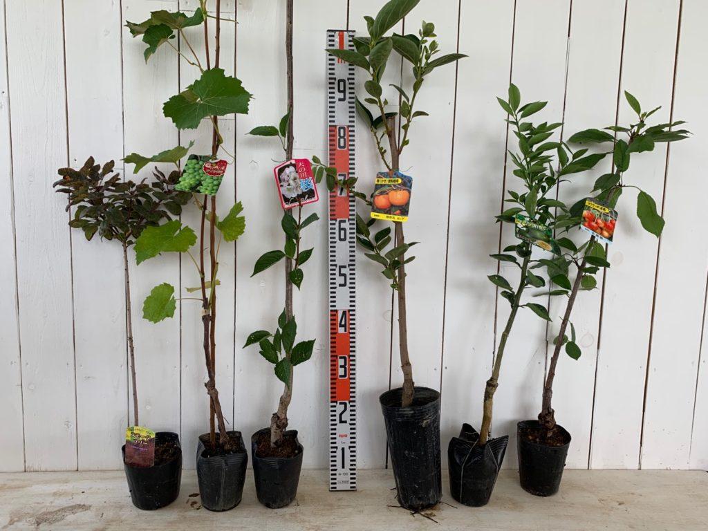 スモークツリー、葡萄、サクラ、甘がき、へベす、佐藤錦などの本日の発送苗