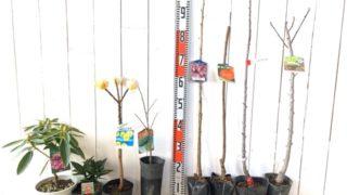 貴婦人石楠花、ロツンデフォリアアオキ、大輪三ツ又 黄色花、ポポー、思川桜、いさはや柿、ポルカバレリーナツリー、アーモンドなどの本日の発送苗