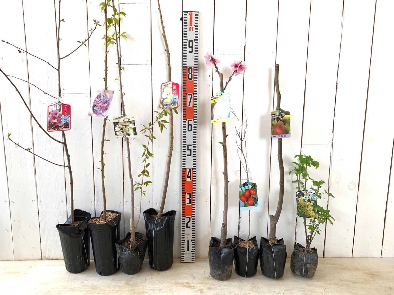アーコレード桜、紅枝垂桜、アメリカ桜、鬱金桜、清水白桃、なつめ、無花果日本種、ホワイトカーラント スグリなどの本日の発送苗