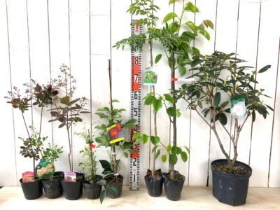 リトルルビー スモークツリー、ヤングレディ スモークツリー、グレース スモークツリー、斑入五葉あけび、ムベ、棘なしタラ、かほり梨、パーシーワイズマン石楠花などの本日の発送苗