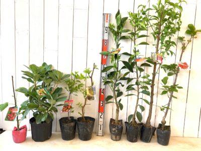 グレンアンプル ラズベリー、ウィリアムキング石楠花、皇帝大実なつめ、スーパージャイアント大実なつめ、日南一号みかん、不知火みかん、照手花桃白花、暖地桜桃サクランボなどの本日の発送苗