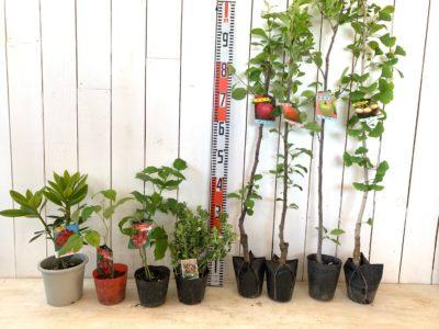 ブラックマジック石楠花、グレンアンプル ラズベリー、サンタナ ラズベリー、リンゴンベリー、ふじりんご、津軽りんご、王林りんご、久寿銀杏などの本日の発送苗